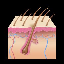 esquema del pelo